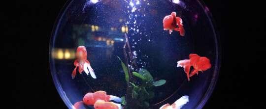 Złota rybka w kuli – czy to na pewno dobry pomysł?